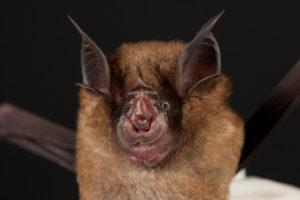 チュウゴクキクガシラコウモリ (Chinese horseshoe bat)